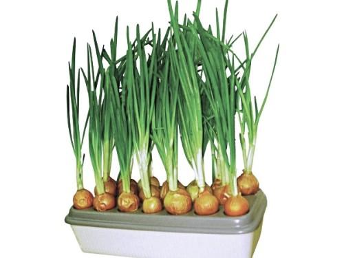 Установка для вирощування зеленої цибулі «Чудоріст»